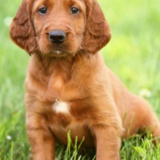 Cute pup picture of Irish setter dog standing on the grass.PNG