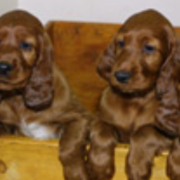 Four Irish Setter Puppies picture.PNG