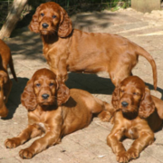 Irish setter puppies playing outside in the sun.PNG