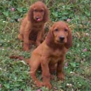 Two young Irish setter puppies standing on the grass.PNG