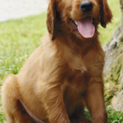 Picture of Irish Setter Puppy standing on the grass looking at the camera with its tongue sticking out_puppy funny cute picture.