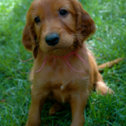 Adorable pup image of Irish Setter dog standing on the grass.PNG