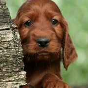Cute puppy face picture_Irish Setter Puppy image.PNG