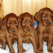 Irish Setter Puppies Pictures_tan dogs picture.PNG