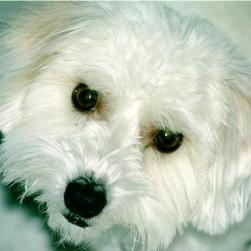 Coton de Tulear face in white.jpg