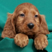 Irish Setter Puppy with long ears.PNG