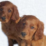 Two Irish Setter dogs picture.PNG