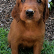 Adorable puppy face picture of a Irish Setter Puppy standing on the grass and looking up to the camera.PNG
