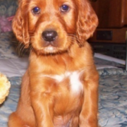 Cute puppy photos of Irish Setter dog in tan with white patterns.PNG