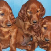Irish Setter breeds in tan with long ears standing group posting for cute dog photo shot.PNG