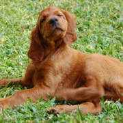 Irish Setter dog taking sun bath on the grass looking so proud and cute.PNG