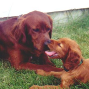 Irish Setter Puppy kissing its mommy while chiling out on the grass with its mamma.PNG