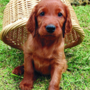 Irish Setter Puppy playing in the backyard having a backet on its back.PNG