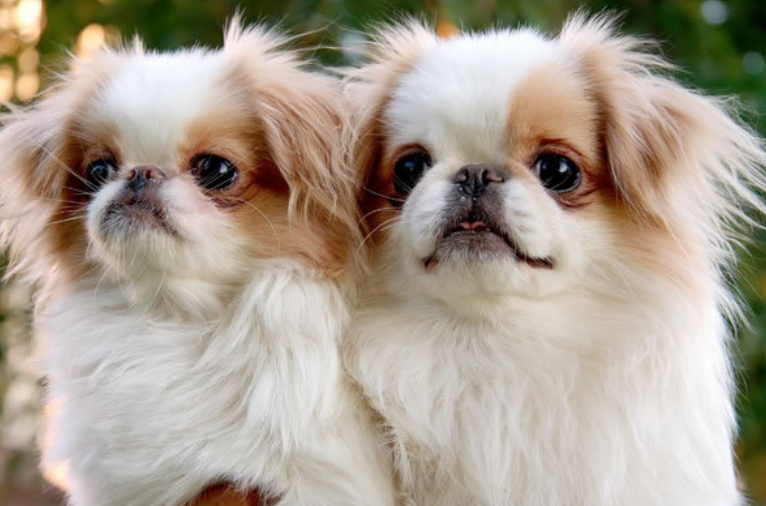 Beautiful Japanese dogs picture of two tan white Japanese Chin pups.PNG