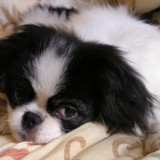 White black Japanese chin dog chilling out on the bed.PNG