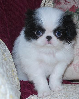 White black Japanese Chin pictures.PNG