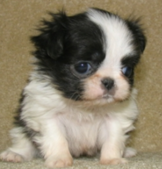 White black young Japanese chin.PNG