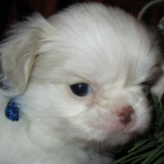 White Japanese dog_Japanese Chin mix.PNG