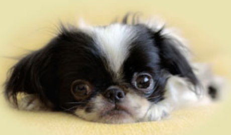 Adorable puppy images_Japanese Chin dog in white black.PNG
