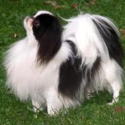 Beautiful Japanese Chin dog standing on grass.PNG