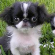 Big eyes dogs picture of Japanese Chin in white black.PNG