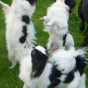 Dancing dogs picture_Japanese Chin breeds in white and black.PNG