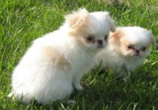 Japanese Chin breeders photo.PNG