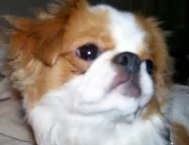Japanese Chin close up face picture.PNG