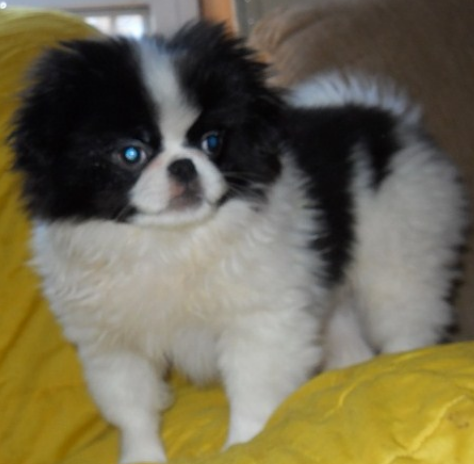 Japanese Chin dog with long hair in white balck.PNG