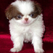 Japanese Chin in white and dark patterns.PNG