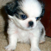 Japanese Chin pup in three toned colors.PNG
