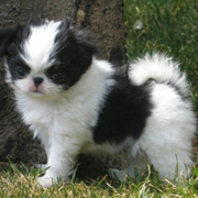 Picturef of Japanese chin dogs.PNG