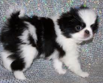 Pictures of Japanese chin.PNG