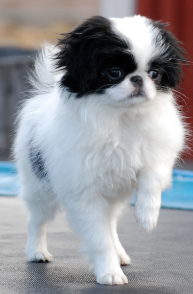 Pretty Japanese Chin puppy dancing.PNG