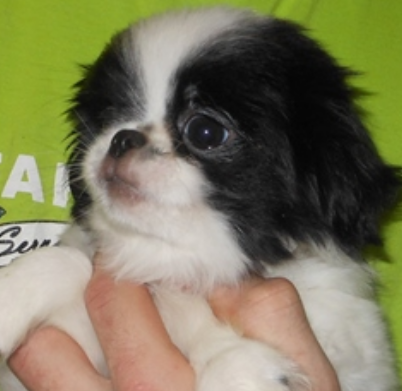 Small dogs picture of a Japanese Chin pup.PNG