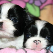 Two young Japanese Chin puppies photo in white black.PNG