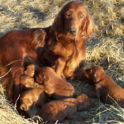 Irish Setter dog with her puppies.PNG