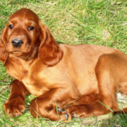 Irish Setter puppy taking a sun bath on the grass and looking straight at the camera.PNG