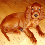Long ears dog_Irish Setter puppy in dark tan.PNG