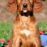 Puppy post pictures of a Irish Setter puppy in tan.PNG