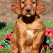 Beautiful tan dog pictures of a Irish Setter puppy  posting for the camera on the grass with red flowers in the background.PNG