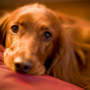 Close up face of a Irish Setter puppy.PNG