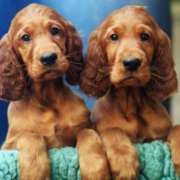 Irish Setter breeds picture_dogs with long ears pictures.PNG