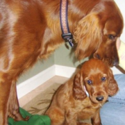 Irish Setter dog licking cleaning her pup_adorable dog pictures.PNG