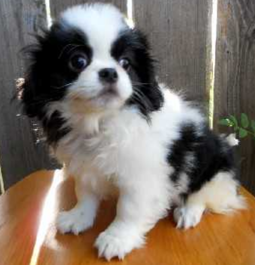 Furry white black Japanese Chin dog picture.PNG