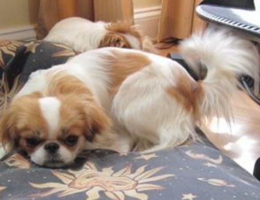 Light tan white Japanese Chin puppy photo.PNG