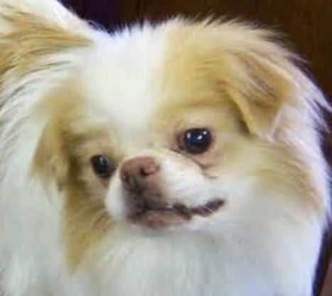Picture of Japanese Chin puppy in tan and white with cute doggy face.PNG