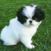 White Japanese Chin puppy with black patterns on its face standing on the grass.PNG