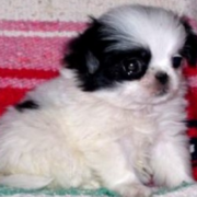 Chuggy looking puppy picture of a Japanese Chin puppy in black and white.PNG