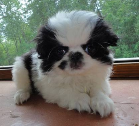 Furry puppy picture of a white black Japanese Chin puppy.PNG